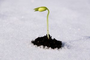 seedling in snow