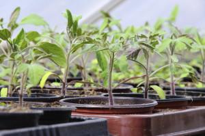 Tomatenpflanze im Gewächshaus - tomato plant in glass house 03